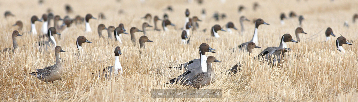Pintails in field of cut grain