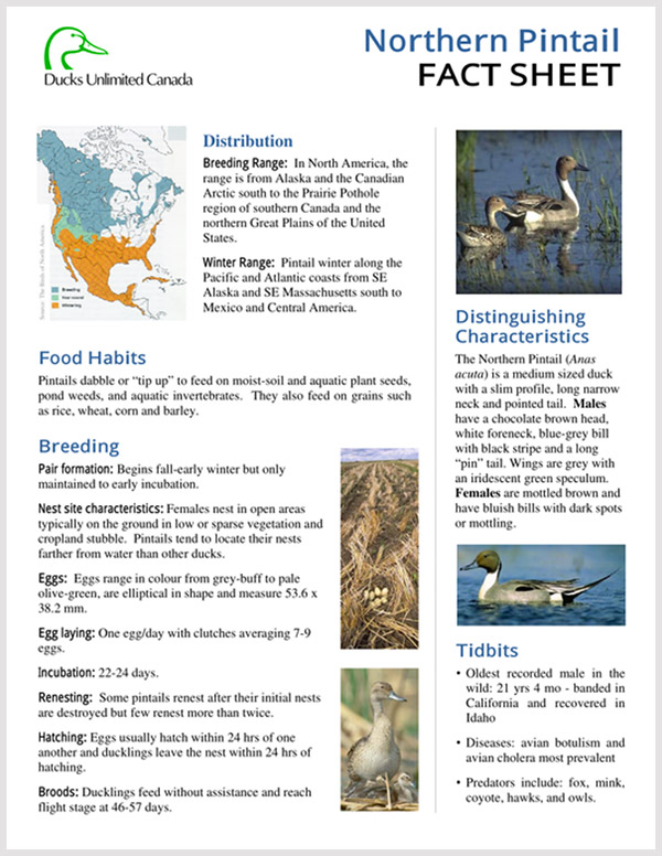 Northern Pintail Fact Sheet