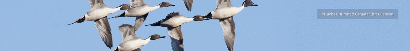 Pintails in flight - ©Ducks Unlimited Canada/Chris Benson
