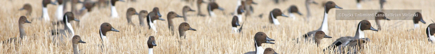 Pintails in cut field - ©Ducks Unlimited Canada/Brian Wolitski